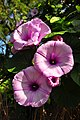 Stictocardia tiliifolia (1).jpg
