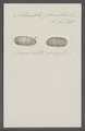 Stomatella planulata - - Print - Iconographia Zoologica - Special Collections University of Amsterdam - UBAINV0274 081 15 0006.tif