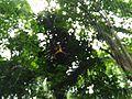 Sulawesi trsr ph16.jpg
