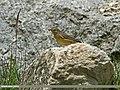 Sulphur-bellied Warbler (Phylloscopus griseolus) (20158759361).jpg