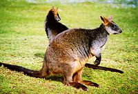 Sumpf-wallaby.jpg