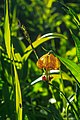 Sun Peaks floral displays.Columbian Lily (Lilium columbianum) (15303714552).jpg