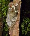Sunda Flying Lemur (Galeopterus variegatus) (15503712798).jpg