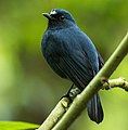 Sunda Robin - Gunung Gede MG 4121 (29030343223) (cropped).jpg