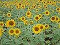 Sunflower cultivation,tadpatri,AP - panoramio.jpg