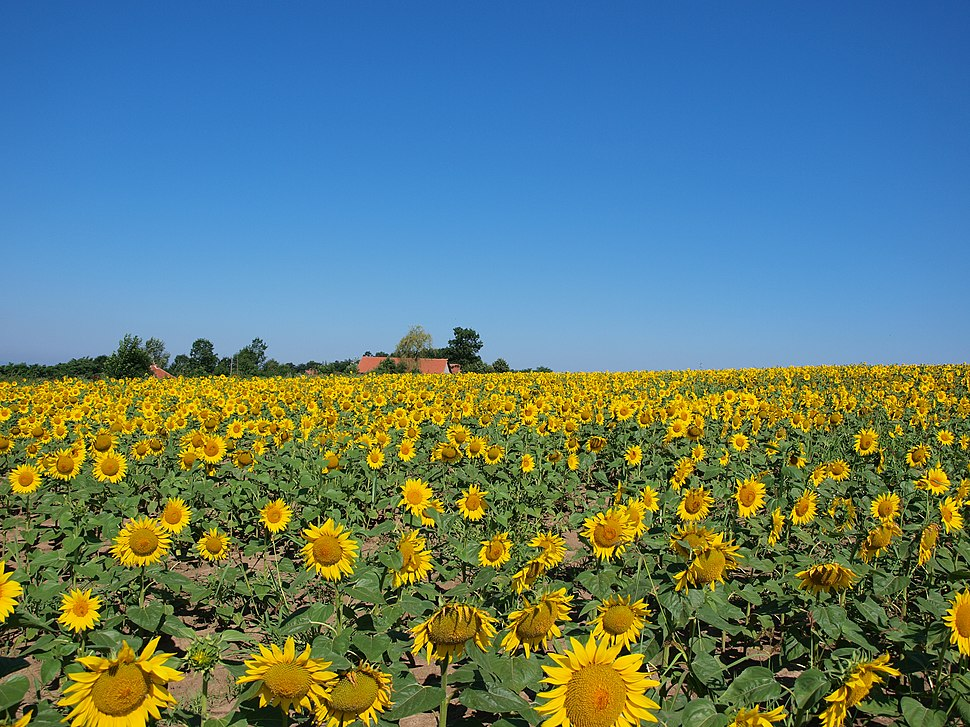 Sunflower fields in Šumadija