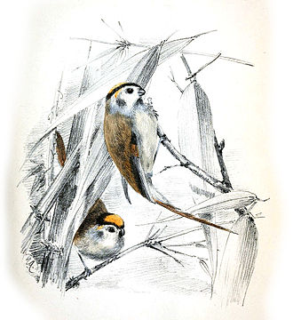Henry Haversham Godwin-Austen - Illustration by Godwin-Austen of Paradoxornis nipalensis which he described as Suthora daflaensis