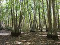 Swamp tupelo.jpg