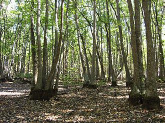 Nyssa biflora - Image: Swamp tupelo