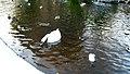 Swan at St. Stephen's Green, Dublin (5212093075).jpg