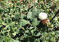 Symphoricarpos albus ssp. laevigatus kz1.jpg