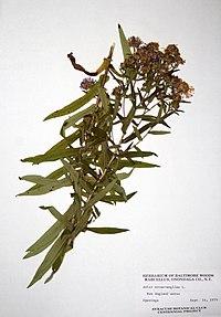 Symphyotrichum novae-angliae BW-1979-0914-9908.jpg