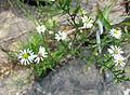 Symphyotrichum pilosum pringlei Tennessee.jpg
