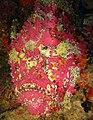 Synanceia verrucosa.jpg