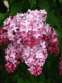 Syringa 'Esther Staley' 02.jpg