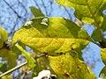Syringa villosa (6).jpg
