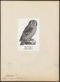 Syrnium uralense - 1809-1845 - Print - Iconographia Zoologica - Special Collections University of Amsterdam - UBA01 IZ18400169.tif