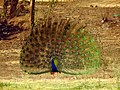 THE INDIAN NATIONAL BIRD -PEACOCK.jpg