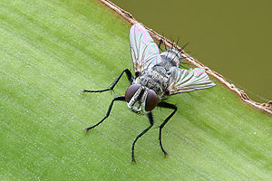 Tachinid fly with iridescent wings