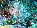 Taenianotus triacanthus maldivas.jpg