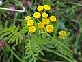 Tanacetum vulgare 149339453.jpg