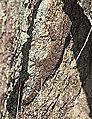 Tarentola mauritanica 20141101.jpg