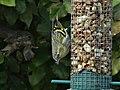 Tarin des aulnes mâle Périgueux (4).jpg