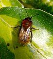 Tawny Mining Bee. Andrena fulva . Female - Flickr - gailhampshire.jpg