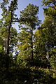 Taxodium 1 Rotenturm.jpg