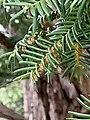 Taxus baccata 121206229.jpg