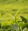 Tea Bud.jpg