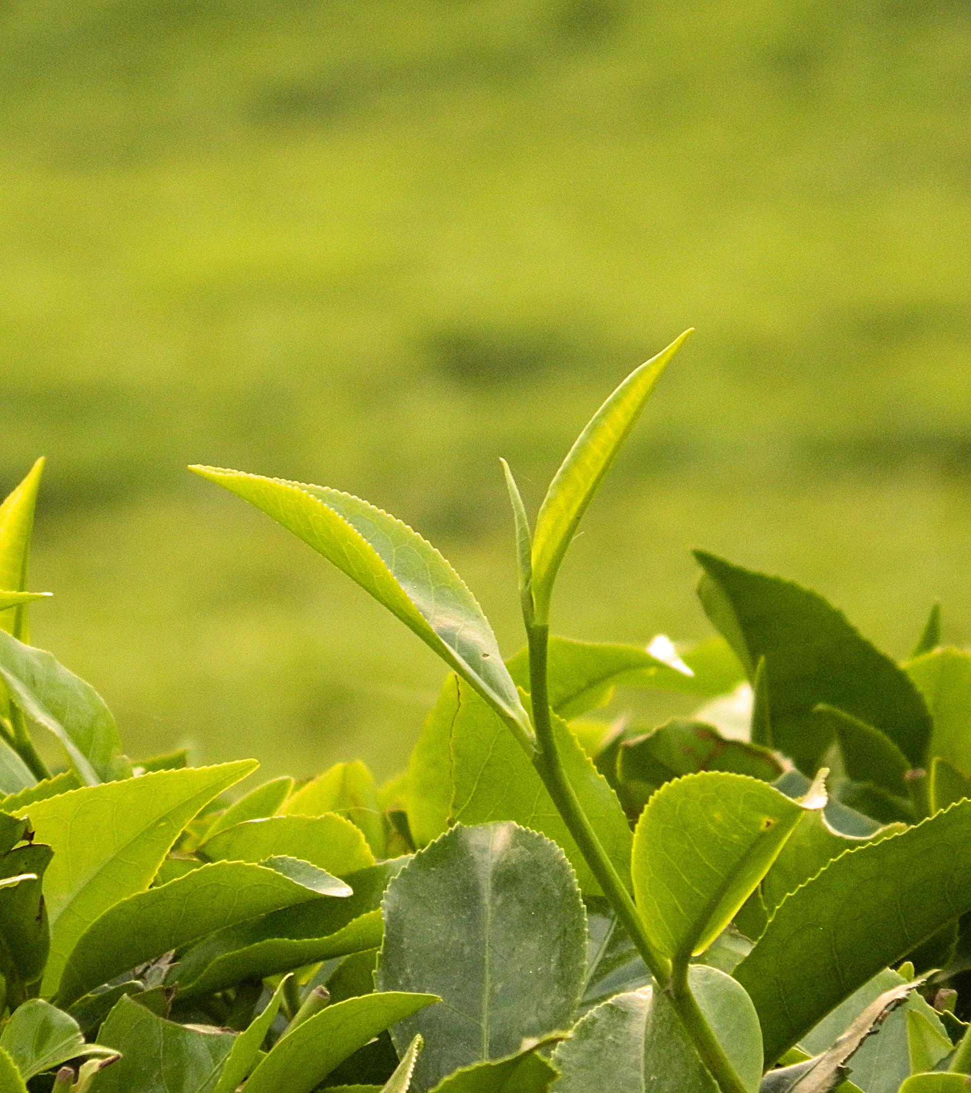 Tea Plant Wiktionary