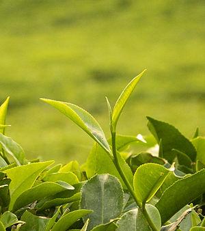 Camellia sinensis - Camellia sinensis foliage