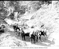 Team of oxen hauling log along skid road with donkey engine in background, ca 1903 (INDOCC 642).jpg