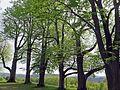 Teil des Lindenkranzes auf dem Veitsberg.jpg