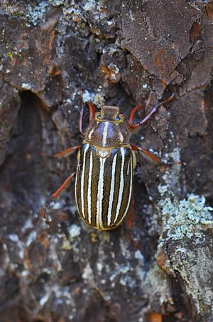 Ten-lined June beetle (Polyphylla decemlineata) 2.JPG