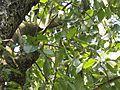 Terminalia chebula (Myrobalan) leaves in RDA, Bogra 01.jpg