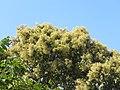 Terminalia paniculata - Kindal Tree flowers at Blathur 2017 (6).jpg