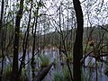 Teufelsbruch swamp with blooming Utricularia vulgaris and rain 01.jpg