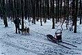 Texel - Dunningsweg - Preparation of Sled dogs II.jpg