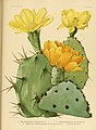 The Cactaceae (Plate XXXVIII) (6026512888).jpg