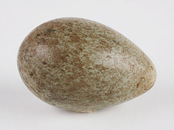 The Childrens Museum of Indianapolis - American crow egg.jpg
