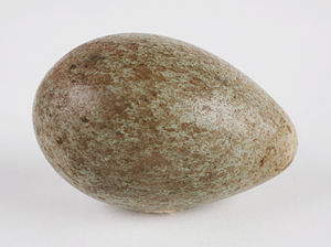 American crow - An American crow egg, in the collection of the Children's Museum of Indianapolis