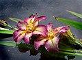 The Iris. (8096402825).jpg