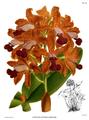 The Orchid Album-01-0050-0016-Cattleya guttata leopoldii.png