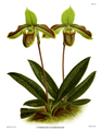 The Orchid Album-01-0113-0037-Cyripedium chloroneurum.png