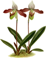 The Orchid Album-02-0144-0095-Cypripedium meirax-crop.png