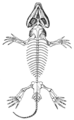 The Osteology of the Reptiles p157.png