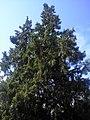 The big bush of juniper. August 2013. - Большой куст можжевельника. Август 2013. - panoramio.jpg