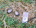 The eggs of the Great Skua in Glen Mor - geograph.org.uk - 722604.jpg